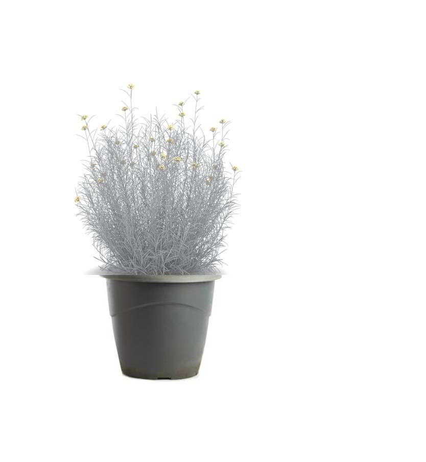 Plante à curry-helichrysum