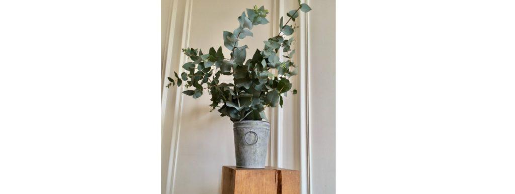 jardinerie en ligne eucalyptus