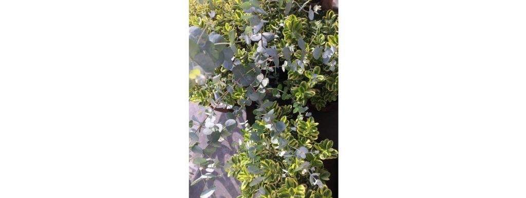 plante pour balcon