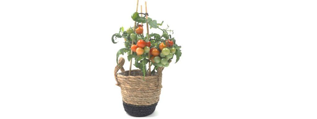 tomate cerise balcon