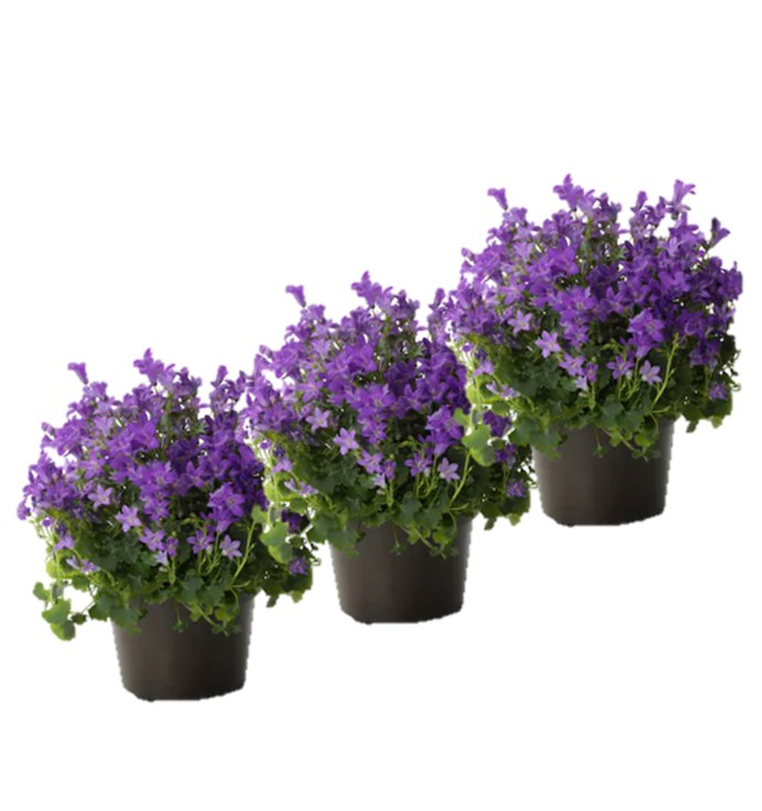 Campagne Violette