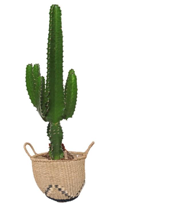 Cactus en cabas