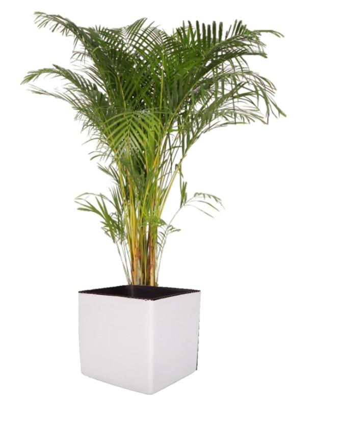 Palmier en cube